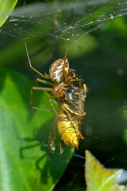 Common hammock-weaver / European hammock spider (Linyphia triangularis) with a Common wasp (Vespula vulgaris) it has caught in its web among ivy leaves and wrapped with silk, Wiltshire garden, UK, Sep...