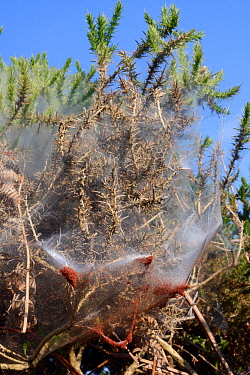 Gorse spider mites (Tetranychus lintearius) emerging in large numbers from silk tent shrouding Gorse bush (Ulex europaeus) ready to migrate to other bushes. These mites are spreading in the UK and are...