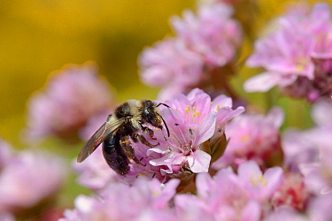 Grey / Ashy mining bee (Andrena cineraria) foraging on a Sea thrift  flowers (Armeria maritima) on a cliff top with Common gorse (Ulex europaea) bushes in the background, Cornwall, UK, May.