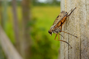 Snipe fly or Downlooker fly (Rhagio scolopacea) perched on a fence post looking out for flying prey, Wiltshire, UK, June.
