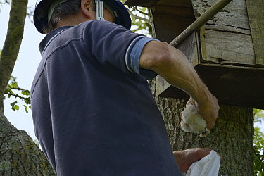 Graham Guest at the top of a ladder removing a Kestrel chick (Falco tinnunculus) from a nestbox for ringing and measuring during a survey for the Hawk and Owl Trust's Kestrel Highways project, Con...