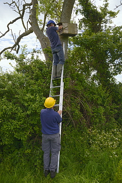 Graham Guest at the top of a ladder held by Barry Gray putting a Kestrel chick (Falco tinnunculus) back into a nestbox during a survey for the Hawk and Owl Trust's Kestrel Highways project, Congre...