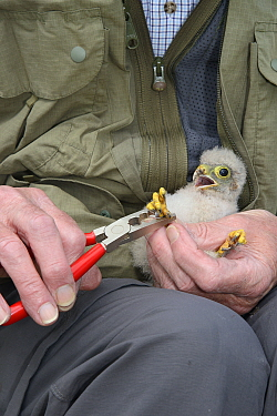 Kestrel chick (Falco tinnunculus) being ringed after being found during a nestbox survey for the the Hawk and Owl Trust's Kestrel Highways project, Congresbury, Somerset, UK, June. Model released.