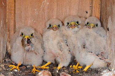 Four Kestrel chicks (Falco tinnunculus) in a nestbox, one with a mouse in its beak, found during a survey for the Hawk and Owl Trust's Kestrel Highways project, Congresbury, Somerset, UK, June.