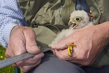 Kestrel chick (Falco tinnunculus) having its developing primary feathers measured during a nestbox survey for the Hawk and Owl Trust's Kestrel Highways project, Congresbury, Somerset, UK, June. Mo...