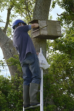 Graham Guest at the top of a ladder checking a nestbox for Kestrel chicks (Falco tinnunculus) during a survey for the Hawk and Owl Trust's Kestrel Highways project, Congresbury, Somerset, UK, June...