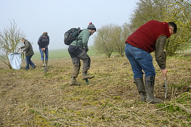 Royal Agricultural University students digging planting holes for Elder saplings (Sambucus nigra) to provide cover for Tree Sparrows (Passer montanus) and other farmland birds as part of the Marlborou...
