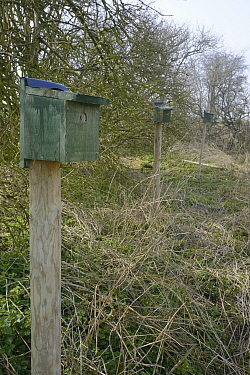 Row of nest boxes on posts erected in a farmland hedgerow for Tree Sparrows (Passer montanus) by Royal Agricultural University students as part of the Marlborough Downs Nature Improvement Area project...
