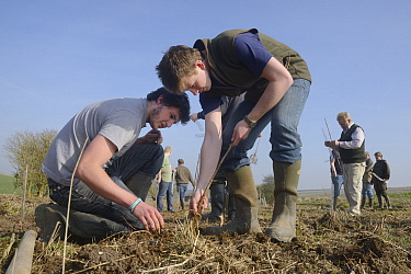 Royal Agricultural University students and gamekeeper Phil Holborrow planting Elder saplings (Sambucus nigra) to provide cover for Tree Sparrows (Passer montanus) and other farmland birds as part of t...