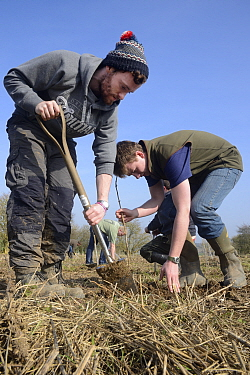 Royal Agricultural University students planting Elder saplings (Sambucus nigra) to provide cover for Tree Sparrows (Passer montanus) and other farmland birds as part of the Marlborough Downs Nature Im...