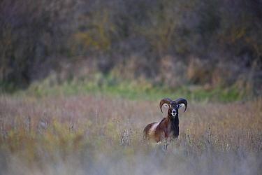 European mouflon (Ovis gmelini musimon) an introduced species in Baie de Nature Somme Reserve, France, April 2015