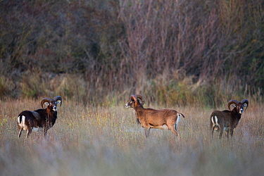 European mouflon (Ovis gmelini musimon) three rams standing in habitat, an introduced species in Baie de Nature Somme Reserve, France, April 2015