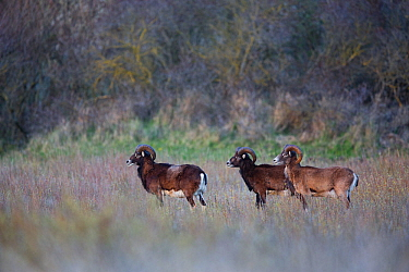 European mouflon (Ovis gmelini musimon) three rams standing profile, an introduced species in Baie de Nature Somme Reserve, France, April 2015