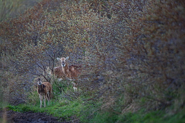 European mouflon (Ovis gmelini musimon) female and young in vegetation, an introduced species in Baie de Nature Somme Reserve, France, April 2015