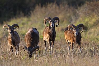 European mouflon (Ovis gmelini musimon) four rams grazing, an introduced species in Baie de Nature Somme Reserve, France, April 2015