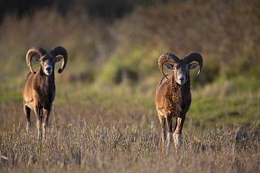 European mouflon (Ovis gmelini musimon) two rams on alert, an introduced species in Baie de Nature Somme Reserve, France, April 2015