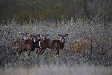 European mouflon (Ovis gmelini musimon) group of rams standing alert, an introduced species in Baie de Nature Somme Reserve, France, April 2015