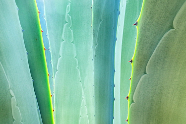 Close up of (Agave) plant leaves, California, USA November