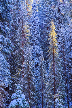 First rays of golden sunshine hit Giant Sequoias (Sequoia sempervirens) covered in a winter blanket of snow and frost, Grant Grove, Sequoia / Kings Canyon National Park, California, USA November