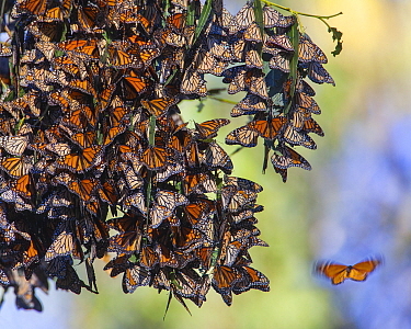 Monarch butterflies (Danaus plexippus) over winter on Eucalyptus and Monterey Cypress trees near Pismo Beach, San Luis, California, USA December.. When temperatures warm up enough, they will embark on...