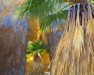 Young California fan palm (Washingtonia filifera) in sunshine among older palms in a remote oasis in Anza-Borrego Desert State Park, California, USA March