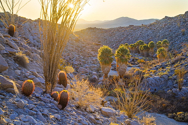 Barrel cacti (Ferocactus pilosus) and Ocotillo overlook Palm oasis at sunrise, Anza-Borrego Desert State Park, California, USA March