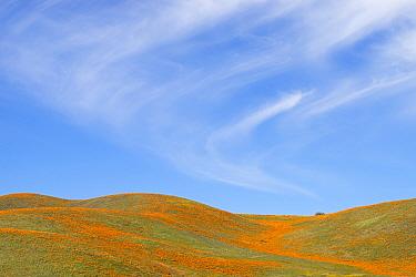 California poppies (Eschscholzia californica) and California goldfields (Lasthenia californica) extend as far as the eye can see, Antelope Valley Poppy Preserve, California, USA