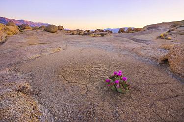 Beavertail cactus (Opuntia basilaris) in otherwise stark desert, Alabama Hills, Owen's Valley, California, USA May