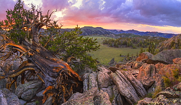Ancient Bristlecone pine (Pinus aristata) clings to life, with a grand view of endless sage valleys, White Mountains, California, USA, July