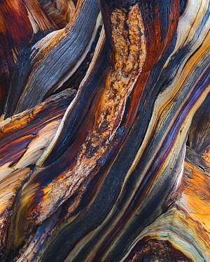 Bristlecone pine (Pinus aristata) abstract view of exposed and weathered wood layers, White Mountains, California, USA July