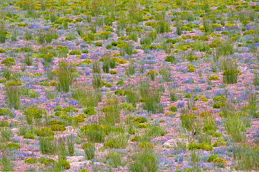 Mid summer flowers abound in the mountains surrounding Mono Lake, California, USA, July