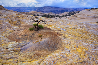 A lonely tree clings to life in the vast sandstone desert, Grand Staircase-Escalante National Monument, Utah