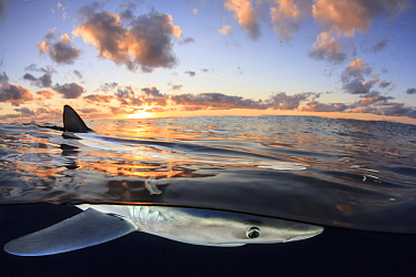 Split level view of Blue shark (Prionace glauca) at surface at sunset, Azores Islands, Portugal, Atlantic Ocean