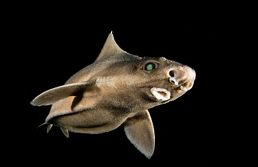 Angular roughshark (Oxynotus centrina) a deepsea species living at 80-300m depth,  caught by fishermen and released, Costa Brava, Catalunya, Spain, Mediterranean Sea