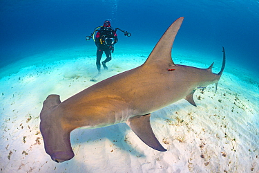Diver (Predrag Vuckovic) is dwarfed by Great hammerhead shark (Sphyrna mokarran). This species can reach over 6m in length. South Bimini, Bahamas. The Bahamas National Shark Sanctuary. Gulf Stream, We...