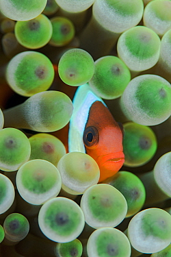 Red and black anemonefish (Amphiprion melanopus) in a Bulb tentacle sea anemone (Entacmaea quadricolor). Kri Island, Raja Ampat, West Papua, Indonesia, South East Asia. Dampier Strait, Tropical West P...