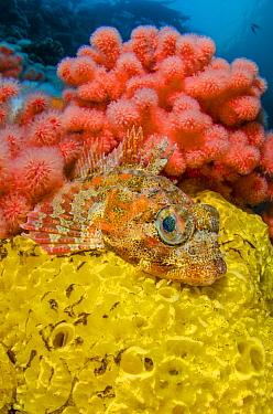 Red Irish lord (Hemilepidotus hemilepidotus)  resting on a yellow sponge, in front of red soft coral (Eunephthya rubiformis). Browning Pass, Port Hardy, Vancouver Island, British Columbia. Canada. Nor...