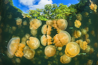 Aggregation of Golden jellyfish (Mastigias sp.) in a marine lake in Palau, the golden colour of this species comes from symbiotic algae in its tissues. Jellyfish Lake, Eil Malk island, Rock Islands, P...
