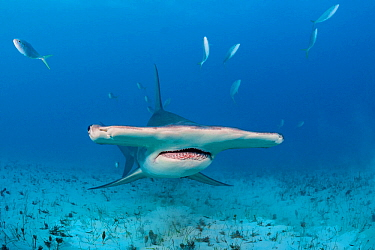Great hammerhead shark (Sphyrna mokarran) swimming over a sandy seabed, accompanied by Rainbow runners (Elagatis bipinnulata) South Bimini, Bahamas. The Bahamas National Shark Sanctuary. Gulf Stream,...