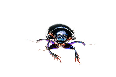Forest dung beetle (Anoplotrupes stercorosus), Maine-et-Loire, France, October, meetyourneighbours.net project