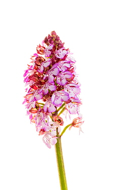Lady orchid (Orchis purpurea) in flower, Maine-et-Loire, France, May, meetyourneighbours.net project