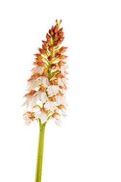 Lady Orchid (Orchis purpurea var. alba) albino form in flower, Maine-et-Loire, France, May, meetyourneighbours.net project