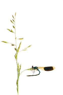 Banded demoiselle (Calopteryx splendens) female on grass, Maine-et-Loire, France, June, meetyourneighbours.net project