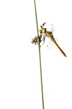 Common darter (Sympetrum striolatum) female on grass, Maine-et-Loire, France, June, meetyourneighbours.net project