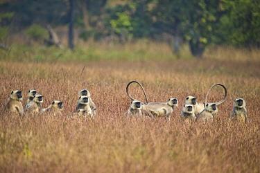 Hanuman langur (Semnopithecus dussumieri) group, Satpura Tiger Reserve, India.