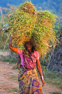 Woman carrying bundle of grass, Rancha village at the border of Bandhavgarh National Park, India, January 2012.