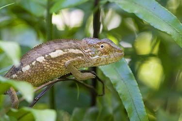 Oustalet's chameleon (Furcifer oustaleti) Masoala National Park, Madagascar.