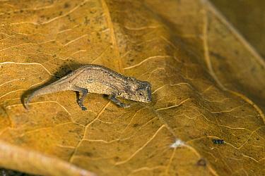 Pygmy stump-tailed chameleon (Brookesia peyrierasi) on leaf, Nosy Mangabe Reserve, Madagascar.