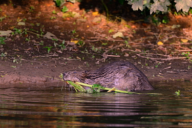 Eurasian beaver (Castor fiber) mother dragging stems and leaves of Common hogweed (Heracleum sphondylium) to the margins of the River Otter for her kits to feed on near their lodge, Devon, UK, July. P...