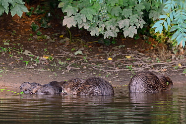 Eurasian beaver (Castor fiber) mother and three of her kits eating stems and leaves of Common hogweed (Heracleum sphondylium) which she has cut. On the margins of the River Otter alongside the father,...
